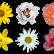 Mix collage of flowers: white peony, red and rose roses, yellow decorative sunflower, white daisy flower, day lilies isolated on black — Stock Photo #76404499