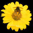 Bee collects pollen from yellow flowers perennial aster isolated on black — Stock Photo #78410042