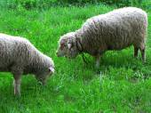 Two sheep on green meadow — Stock Photo