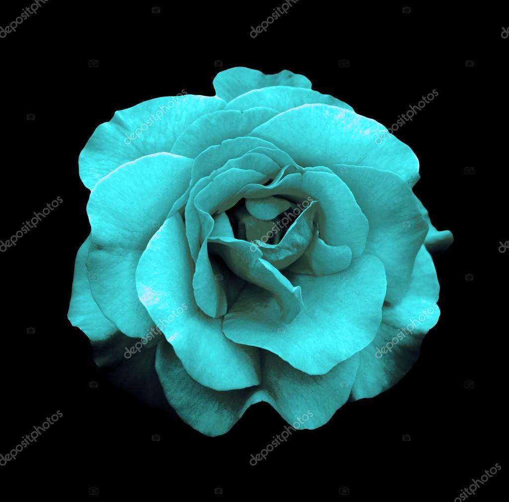 macro de fleur rose turquoise surréaliste chrome foncé isolée sur