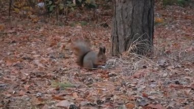 Squirrel in the forest eating nut — Stock Video