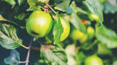 Green apples on a branch, outdoors, selective focus — Stock Photo