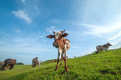 Cows grazing on lush grass field — Stockfoto