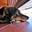 Sad Glance of Dog on Terace — Stock Photo #77594710