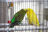 Two Parakeets Kissing in Cage — Stock Photo