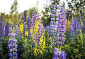A field of lupins wildflowers — Stock fotografie