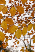Beech Tree (Fagus) with autumn leaves - fall foliage — Stock Photo