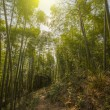 Bamboo forest with green trees — Stock Photo #75484583