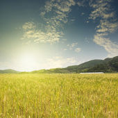 Wheat planting field with sunlight — Stock Photo