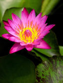 Beautiful Lotus — Stock Photo