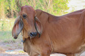 Asian cow — Stock Photo