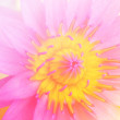 Close up of Soft yellow and pink color of the lotus flower in the garden. — Stock Photo #77149737