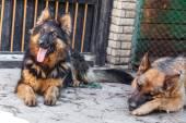 Two German Shepherd dog, — Stock Photo