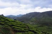 Plantations de thé — Photo