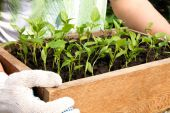 Pepper seedlings in a box — Stock Photo