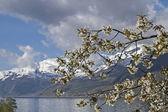 Fruit tree blossom in Norway — Stock Photo