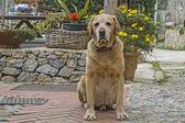 Labrador Mongrel — Stock Photo