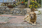 Labrador Mongrel — Stock Photo