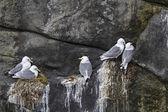 Herring gulls during brooding — Stock Photo