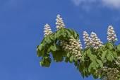 Chestnut blossom — Stock Photo
