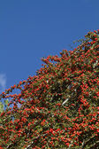 Cotoneaster — Stock Photo