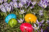 Crocus meadow amd Easter eggs — Stock Photo