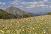 Flower carpet in the Sibillini — Stock Photo