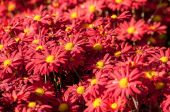 Red chrysanthemum in blossom background — Stock Photo