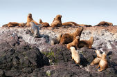 Group of sea lions — Stock Photo