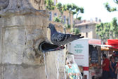 Pigeon standing in water in Fountain — Stock Photo