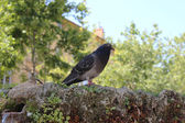 Pigeon standing on a water Fountain. Cours Mirabeau Aix-En-Prove — Stock Photo