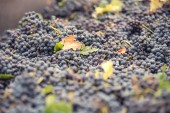 Grapes for red wine at the winery — Stock Photo