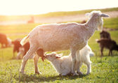 Goats on a green meadow. — Stock Photo