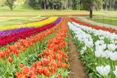 Tulip field with colourful flowers — Stock Photo