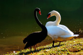 Black and White Swans in heart shape — Stock Photo