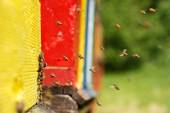 Domesticated honeybees returning to their apiary — Stock Photo