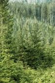 Green coniferous forest with old spruce, fir and pine trees — Stock Photo