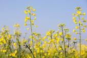 Řepkové rostliny — Stock fotografie