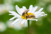Bees sucking nectar — Stock Photo