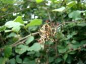 Spider guarding blackberry bush. — Stock Photo
