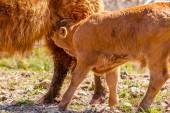 Calf suckling — Stock Photo
