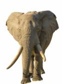 Long tusks Elephant — Stock Photo