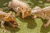 Lizards eating — Stock Photo