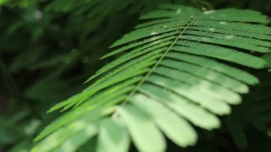 Acacia leaves — Stock Video