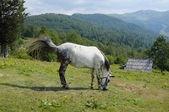White Horse Grazing, Montenegro — Stock Photo