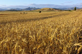 Grain Field In Republic Of Macedonia — Stock Photo
