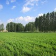 Green Field, Trees Lines And Blue Sky — Stock Photo #74806997