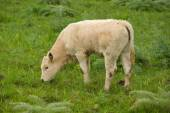 Young cow graze in the green field — Stock Photo