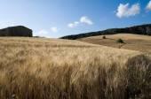 Rural landscape for field of wheat ripe — Stock Photo