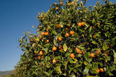 Red citrus of Sicily on the tree — Stock Photo